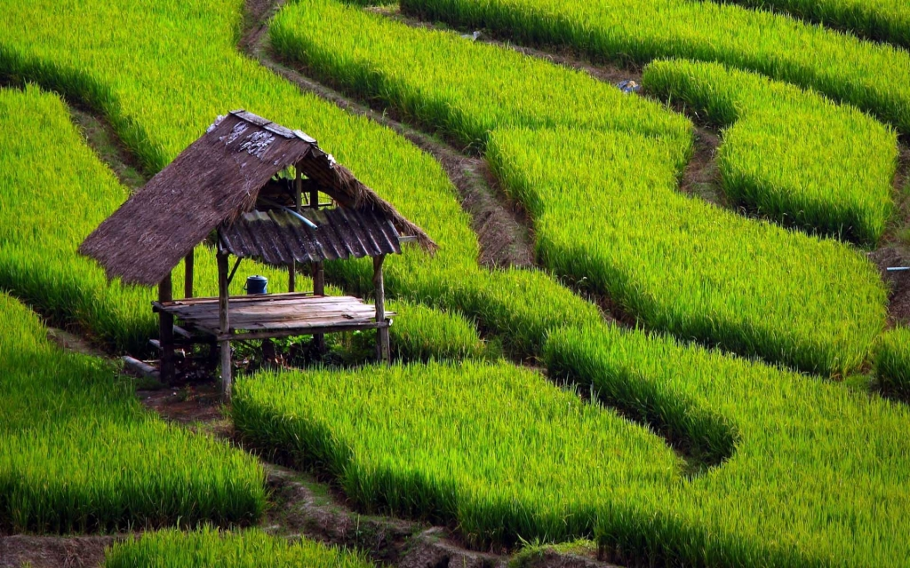 paddy_fields-lq